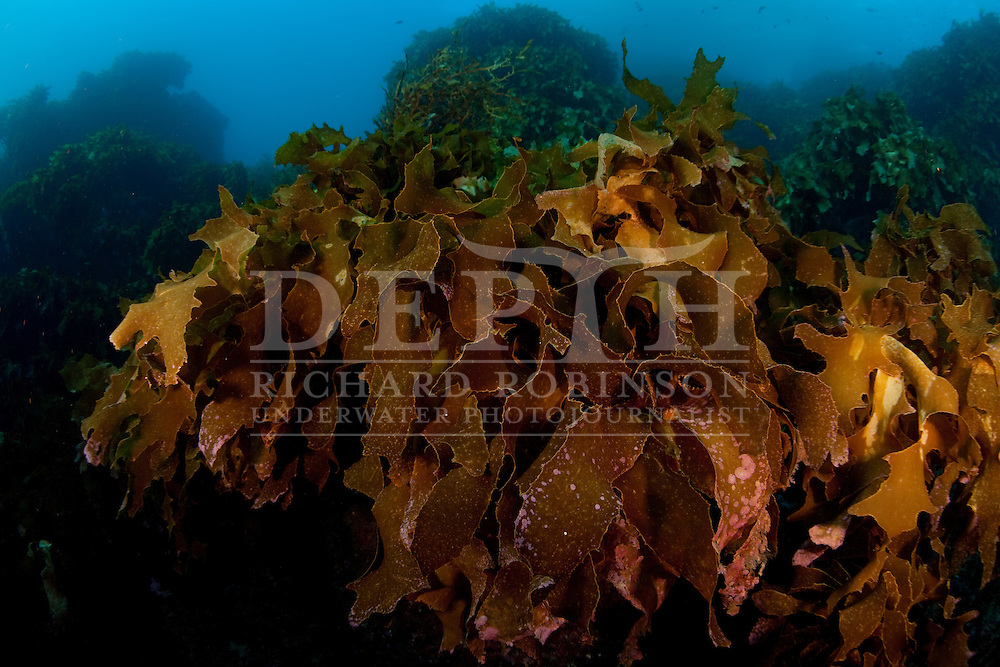 Common Kelp (Ecklonia radiata) at the Poor Knights Islands Marine Reserve New Zealand.<br /> Sunday 27 June 2010<br /> Photograph Richard Robinson &copy; 2010<br /> Dive Number: 264<br /> Boat: Yukon Charters.<br /> Site: Magic Wall, Labrid Channel and Ngaio Rock..<br /> Dive Buddy : Ian Skipworth.<br /> Temperature: 14.2  Degrees Celsius.<br /> Rebreather : Inspiration Vision. Total Time On Unit: 71:40 hh:mm<br /> Maximum Depth: 18.3 meters..<br /> Bottom Time: 92 minutes.<br /> Bottom Time to Date: 15,039 minutes.<br /> Cumulative Time: 15,131 minutes.
