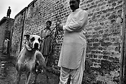 """Diamond is a dog, age 1.5, family Bully Kutta, indian origin, with high reputation despite never had a fighting before, just derived from the father's respect. Diamond has to test himself in one month agaist other champion before strating dogfighting season. NWFP, Pakistan, on friday, August 29 2008.....According to the Islamic tradition, angels do not enter a house which contains dogs. Even if they are considered """"ritually unclean"""" by the jurists, the fighting dogs of Pakistan are tolerated by institutions and by believers alike. These mastiffs are grown and trained explicitly for these matches. Spectators in this area flock-in from nearby villages whenever a famous dog is scheduled to enter the arena. And this is more than just a show: entire families base their social esteem on the results of such bloody confrontations."""