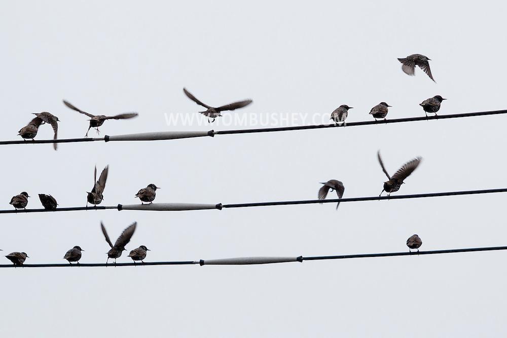 Middletown, New York - A flock of birds  on Jan. 1, 2016.