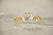 Ghost Crab; Ocypode quadrata; on ocean beach; NJ, Ocean City
