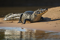 A large caiman, Caiman latirostris, on the bank of the Cuiaba River.