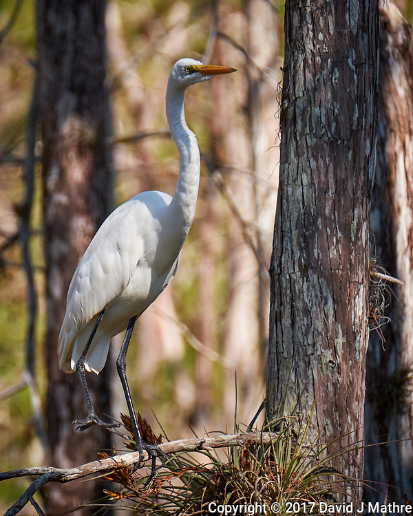 Great Egret along the Loop Road in Big Cypress National Preserve. Winter Nature in Florida. Image taken with a Fuji X-T2 camera and 100-400 mm OIS telephoto zoom lens.