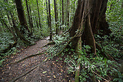 A path in the forest goes past a large Chatannye Tifey or Acomat Boucan Sloanea Caribaea tree.