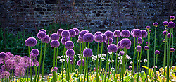 Allium 'Lucy Ball' growing in the trials bed at Parham House
