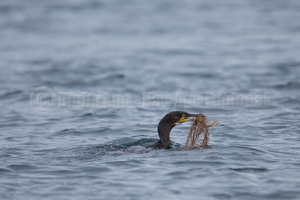 A Cormorate dived, and came up with a fish, and a little bit more | En Skarv dykket og kom opp med en fisk med noget attpå :-)