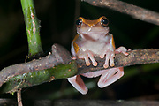 Unknown tree frog from La Selva, Ecuador.