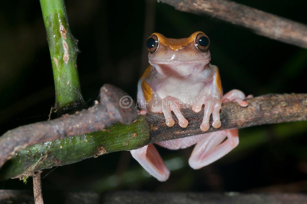 Unknown tree frog from La Selva, Ecuador.