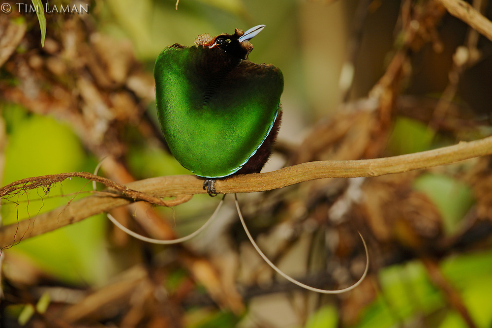 Magnificent Bird of Paradise<br />