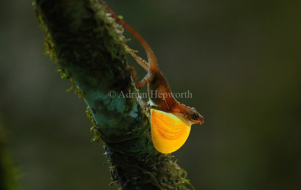 Male Golfo Dulce Anole (Norops polylepis) extending dewlap in territorial display. Endemic to south west Costa Rica. Sirena, Corcovado National Park, Osa, Costa Rica. <br />