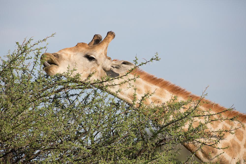 Giraffe in Erindi, Namibia.