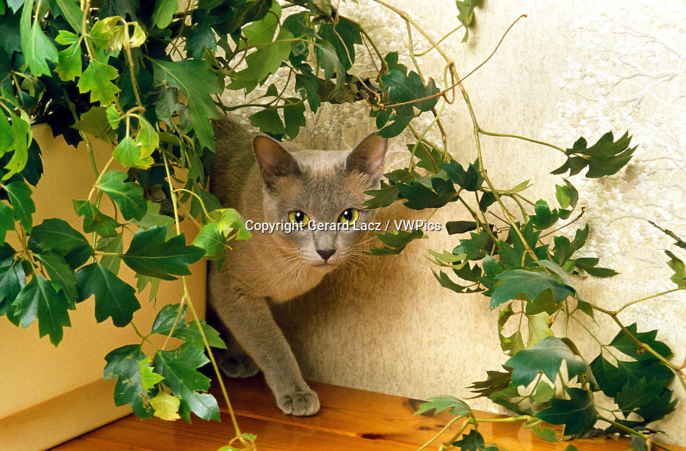 Blue Burmese Domestic Cat, Adult standing near Green Plant
