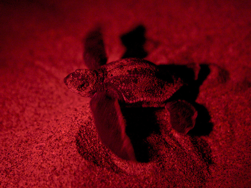 "A leatherback hatchling (seen with a red ""safe"" light) moves towards the ocean after being helped by a beach-goer that spotted it heading away from the beach and towards the lights of beachfront properties. Scientific estimates indicate that only one in 1000 hatchlings will survive to become a reproductive adult sea turtle. Loss of nesting beaches due to coastal overdevelopment hinder turtles from laying eggs. Light pollution which causes hatchlings to go AWAY from the water and predators ranging from raccoons, birds and even domesticated animals have the odds stacked against them before they ever reach the water. Environmental disasters such as oil spills can be devastating to the animals which spend most of their time underwater but have to surface to breath. It's currently a tough world for a creature that's been around for millions of years."