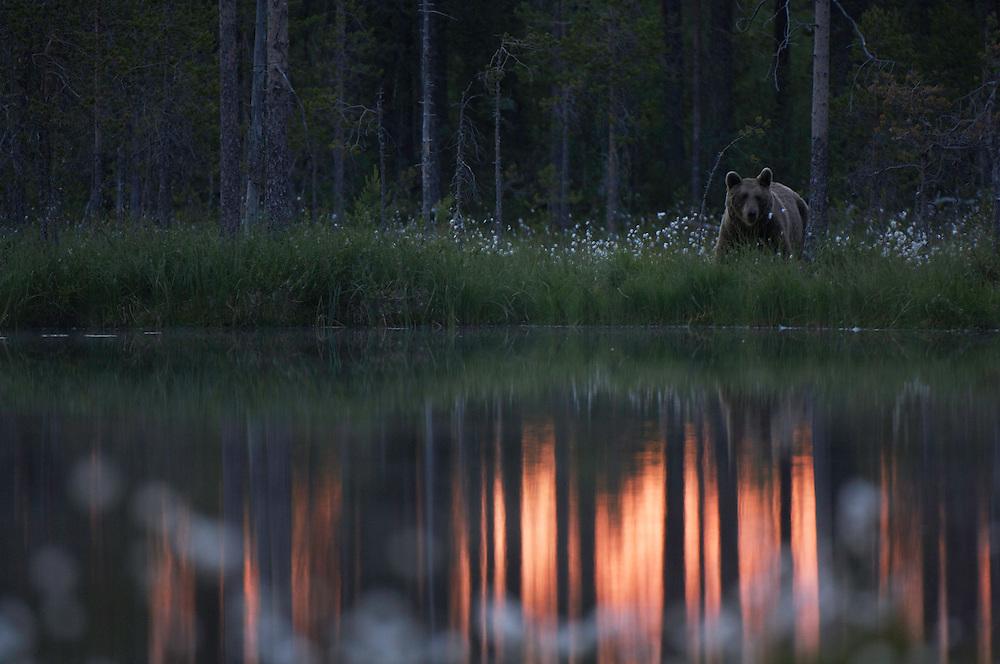 Eurasian brown bear, Ursus Arctos; Finland
