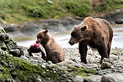 A brown bear sow known as Bearded Lady watches as her spring cubs learn to eat salmon as they wean at the McNeil River State Game Sanctuary on the Kenai Peninsula, Alaska. The remote site is accessed only with a special permit and is the world's largest seasonal population of brown bears in their natural environment.