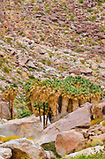 Oasis in Borrego Palm Canyon, Anza-Borrego Desert State Park, California USA