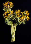 Dried sunflowers tied together