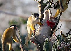 © Licensed to London News Pictures. 12/12/2012. London, UK. Members of London Zoo's resident Black capped Bolivian squirrel monkey troop raid a Christmas stocking left by a keeper as an early festive treat in London today (12/12/12). Photo credit: Matt Cetti-Roberts/LNP