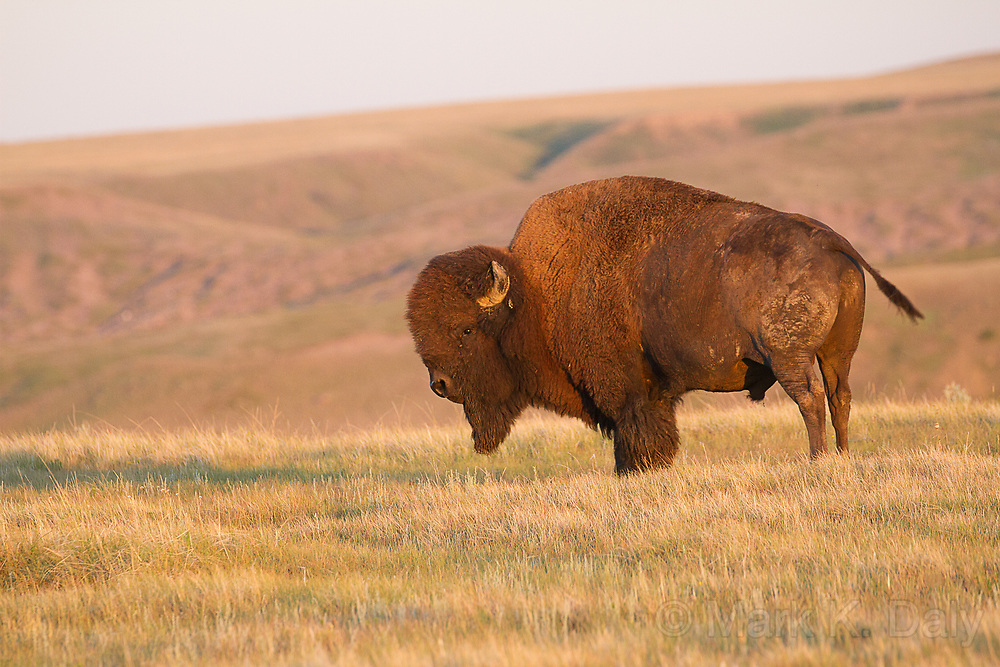 Plains Bison