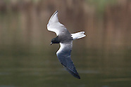 White-winged Tern photos