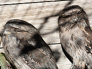 Tawny Frogmouth - this pair were injured by cars at night and are no longer able to hunt for themselves