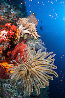 A Diver approaches Vibrant Soft Corals and Crinoids <br /> <br /> Shot in Indonesia