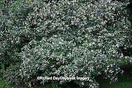 63808-030.01 Gray Dogwood (Cornus racemosa) bush with berries, Marion Co, IL