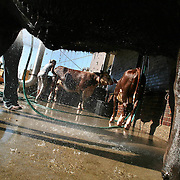 FAIRAWAKE - DES MOINES, AUG. 13 -- Cattle get an early morning bath at the Iowa State Fairgrounds Sunday.  m0813fairawake  DAVID PETERSON/THE REGISTERDes Moines, Ia.