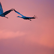 Departing the field - a Sandhill Crane duo gets underway in the early morning New Mexico skies