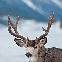 single muledeer buck in snow during winter