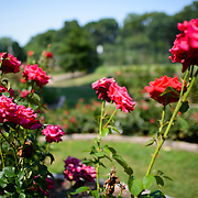 Red roses at the Bon Air Memorial Rose Garden in Arlington, Virginia. The garden is located next to a park and Four Mile Run.