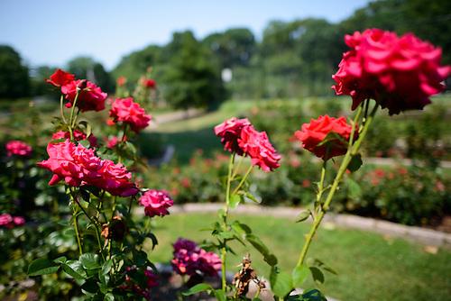 Red Roses At The Bon Air Memorial Rose Garden In Arlington, Virginia. The  Garden.