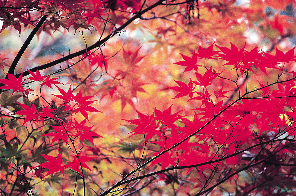 autumn japanes maples leave and branch design