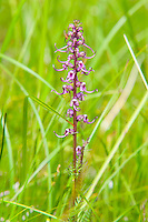 The elephant's head is a very interesting native lousewort found in all of the western continental United States, all of Canada including the Maritimes provinces, and Greenland. The flowers are shaped just like an pinkish-purple elephant's head including trunk and ears, and just like  other louseworts - it is a parasite that gets its nutrients from the roots of neighboring plants. Because of this, it has no green parts or chlorophyll, and doesn't require photosynthesis. This one was photographed high in the Cascade Mountains about fifty miles northeast of Seattle.
