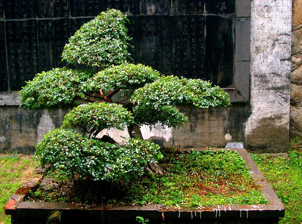 Bonsai in Dragon Temple