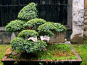 Bonsai in Dragon Temple