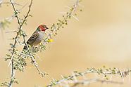 Estrildidae