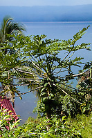 Indonesia, Sumatra. Samosir. Papaya tree at Lake Toba.