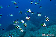 schooling pennant butterflyfish, false moorish idol, or schooling bannerfish, Heniochus diphreutes, in front of Neon Cave, off Lehua Rock, near Niihau, off Kauai, Hawaii, USA ( Pacific Ocean )
