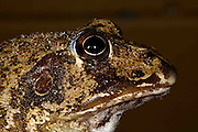 eastern water holding frog (Cyclorana novaehollandie)inland queensland