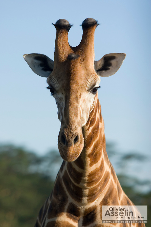 Giraffe, Lake Nakuru National Park, Kenya.