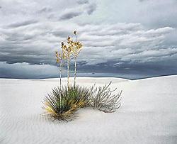 Three yucca stalks reaching into late afternoon stormy sky, growing out of pure white gypsum sand, White Sands nat. Monument