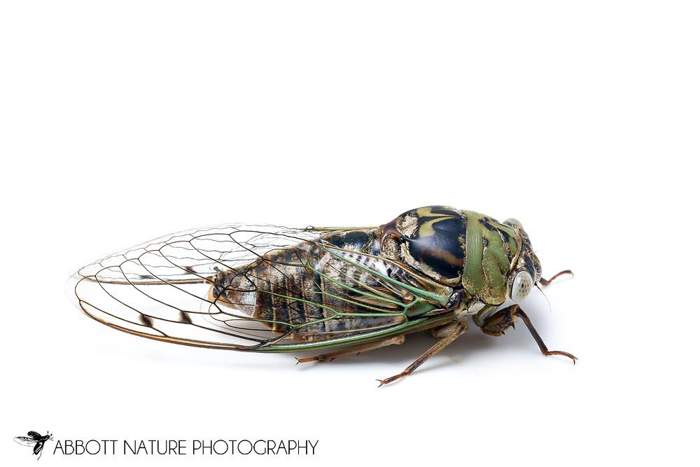 Resh Annual Cicada (Tibicen resh)<br /> TEXAS: Lamar Co.<br /> Camp Maxey National Guard<br /> Powderly  2.VIII.2014<br /> N33.78015 W95.53824 351 ft<br /> J.C. Abbott #2676 &amp; K.K. Abbott