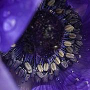 Blue Anemone stamens details