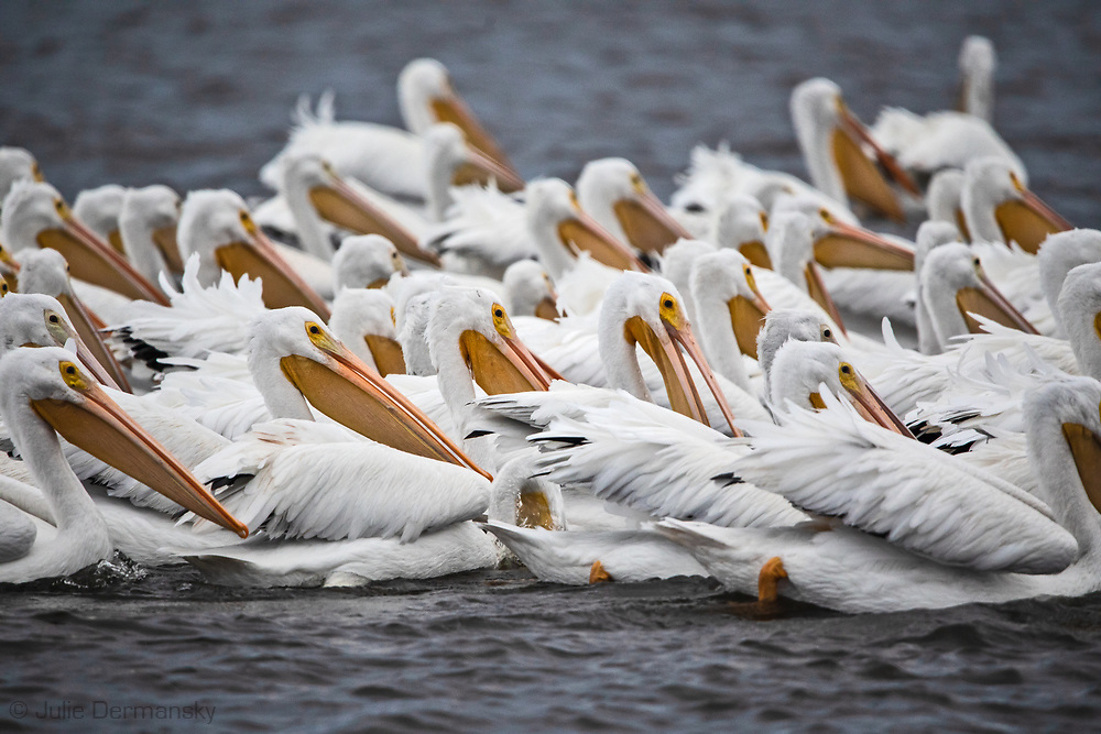 White pelican flock off Island Road in between Pointe-aux-Chenes and Ilse de Jean Charles, Louisiana.