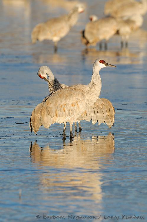 Sandhill Crane {Grus canadensis}; preening, morning on the Bosque, Bosque del Apache National Wildlife Refuge, New Mexico