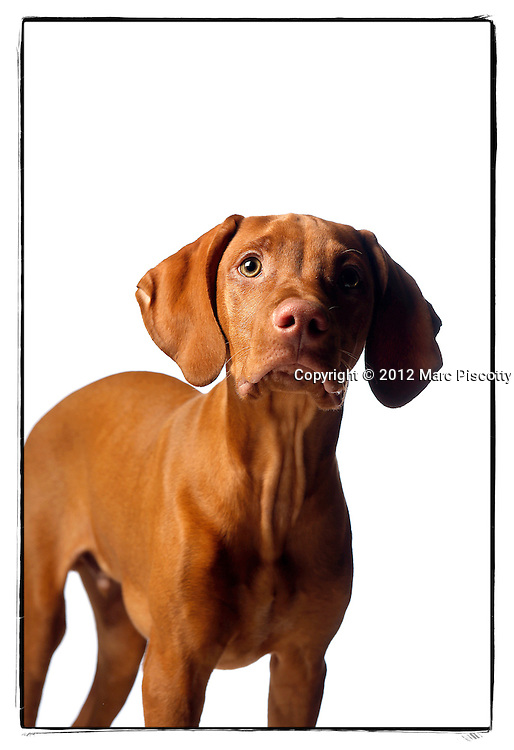 SHOT 12/12/12 4:46:57 PM - Photos of Freckles, a 17 week old male Vizsla, and his owner Lynn Sywyj of Denver, Co.(Photo by Marc Piscotty / © 2012)