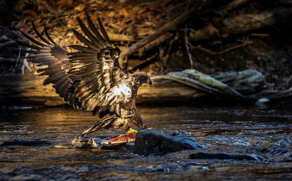 A baby eagle strikes a dead deer on the Patapsco River in Oella, Maryland.