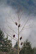 Five bald eagles (Haliaeetus leucocephalus), one adult and four juveniles, sit together on a tree overlooking the Nooksack River in the North Cascades of Washington state. Hundreds of bald eagles winter along the river to feast on spawned out salmon.
