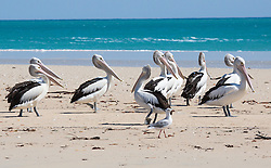 A flock of pelicans rest on a sandbank at Willie Creek, north of Broome.