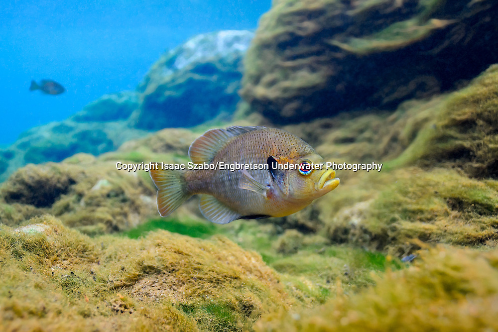 Spotted Sunfish<br /> <br /> Isaac Szabo/Engbretson Underwater Photography